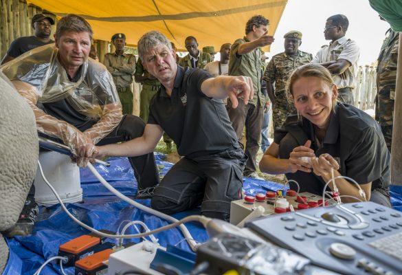 Thomas Hildebrandt munkatársaival egy afrikai mesterséges orrszarvú megtermékenyítésen.
