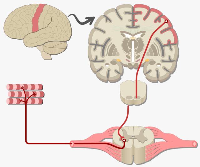 A mozgatórendszer egyszerű vázlata: az agykérgi idegsejtek a gerincvelőben lévő mozgató idegsejteknek továbbítanak jelet, ezek pedig összehúzódásra bírják az izmokat.